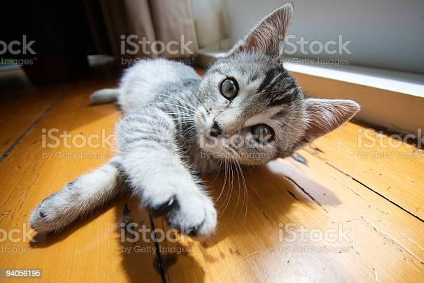 Adorable silver tabby kitten lying on wooden floor picture id94056195?b=1&k=6&m=94056195&s=612x612&h=1gvcobkl4dsobvmc2jzcebpmlzvoimul5rtvm7cz164=