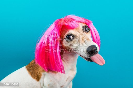 Adorable small dog in pink wig on blue backgrond. Tongen licking. Concept dog portrait