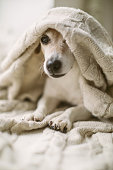 istock adorable small dog Jack Russell terrier having rest covered with a blanket. Relaxed weekend daytime. 1132974349