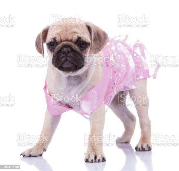 Adorable standing pug wearing a pink dress looks to side picture id956316948?b=1&k=6&m=956316948&s=612x612&h=qgcmenevfeoujnpkcut6 ty 1pukozbal3epps45xpe=