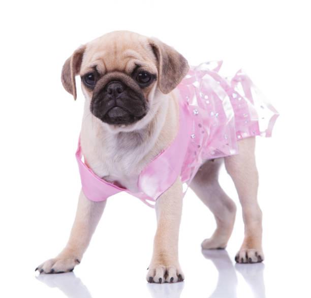 Adorable standing pug wearing a pink dress looks to side picture id956316948?b=1&k=6&m=956316948&s=612x612&w=0&h=x4j1hywmwi3rr1frlwhwg grqgehdj5v7g6ssxh183q=