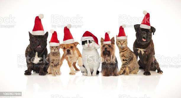 Adorable team of seven christmas pets of different breeds picture id1060807946?b=1&k=6&m=1060807946&s=612x612&h=s6u3peq5rzp5s58swp0us3bjuu0oaswpjqjyu nviok=
