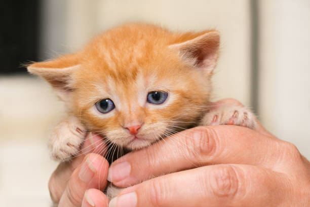 Adorable timid ginger kitty. Face detail. Little cuddly domestic cat five weeks old. Felis silvestris catus stock photo
