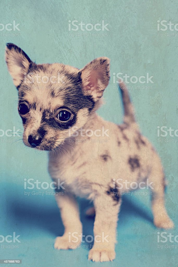Adorable Tiny Teacup Pomeranian Chihuahua Puppy Standing On Blue Background Stock Photo Download Image Now Istock