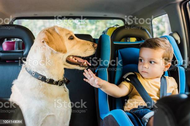 Adorable toddler boy in safety seat touching labrador dog on backseat picture id1004149084?b=1&k=6&m=1004149084&s=612x612&h=5qlunsqkbmdpvd0qyzwpaldamtoouueq2afmdu ffyg=