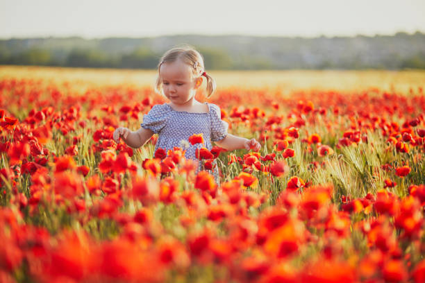 Adorable toddler girl in blue dress walking in the field of blooming poppies stock photo