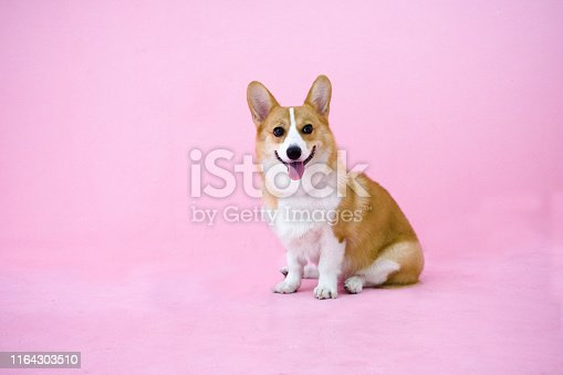 adorable welsh corgi dog smile and sitting on pink background. cute puppy waiting for playing.friendly dog waiting for owner