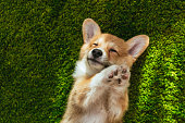 adorable welsh corgi pembroke on green lawn at home