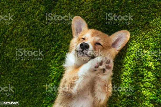 Adorable welsh corgi pembroke on green lawn at home picture id1077145200?b=1&k=6&m=1077145200&s=612x612&h=1pmuel3i3f0r36zzxjpck5qcyyumuzc5myvkb8mvjr4=