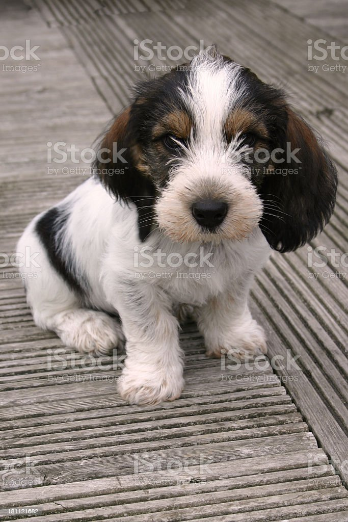 Adorable white black and brown terrier puppy royalty-free stock photo