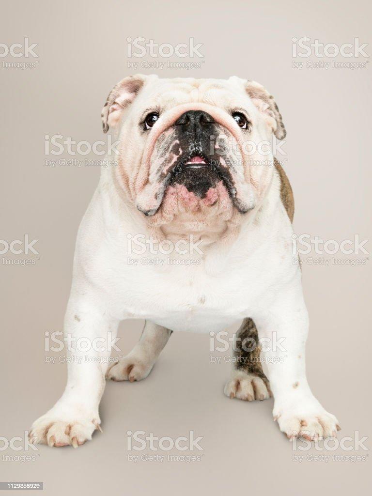 Adorable white Bulldog puppy portrait stock photo