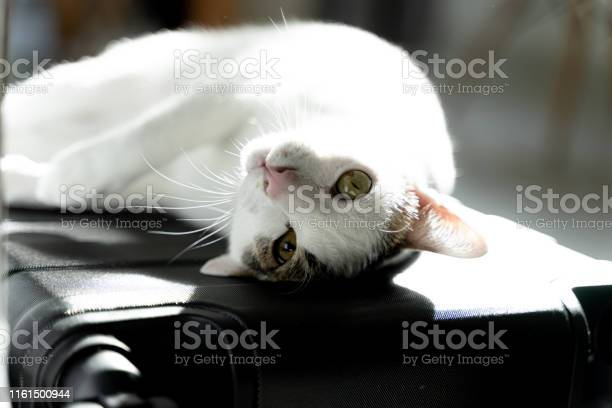 Adorable white domestic cat lay down with cute face on travel carry picture id1161500944?b=1&k=6&m=1161500944&s=612x612&h=9qwfmtbtrpt8a7o3zlqir5e kraapo1tt6pguywa8ee=