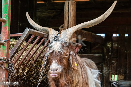 Adorable white goat with horns in a barn. Beautiful well-groomed animals