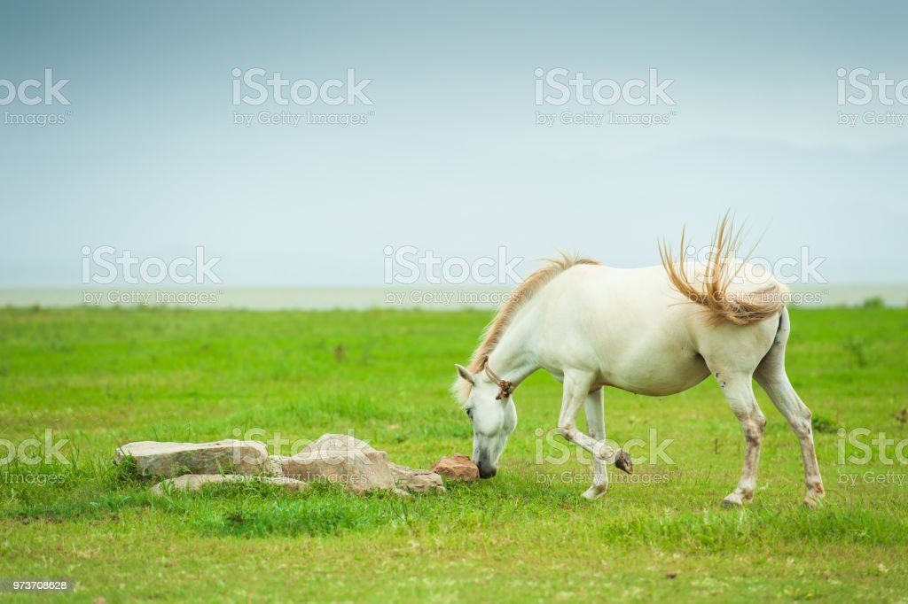 Adorable White Horses Playing And Relaxing In The Grassland Cloudy And Mountains Background Thai Horse Thailand Stock Photo Download Image Now Istock
