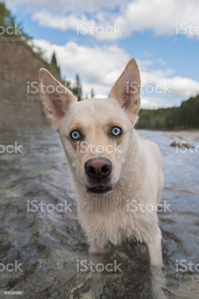 Adorable white husky mix looks at camera with striking blue eyes and goofy expresssion stock photo