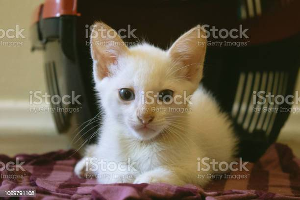 Adorable white kitten with blue eyes relaxing on the floor picture id1069791108?b=1&k=6&m=1069791108&s=612x612&h=yyht kgyqjiiafkhr0qjb1tx7neahufdcmlf5vygqxi=