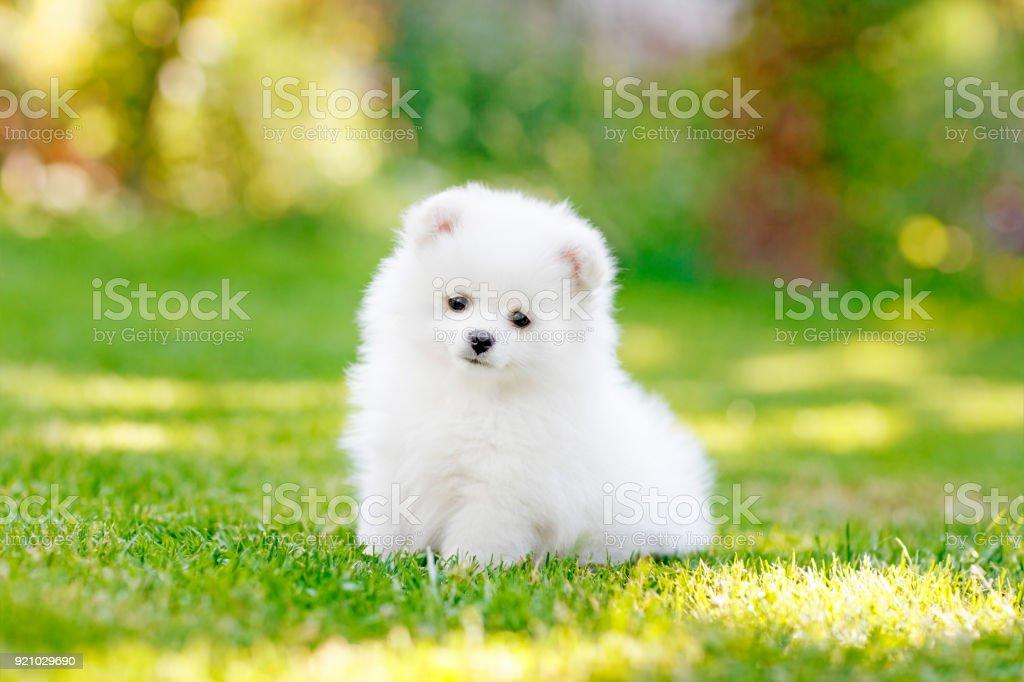 Adorable White Pomeranian Puppy Spitz Stock Photo Download Image Now Istock