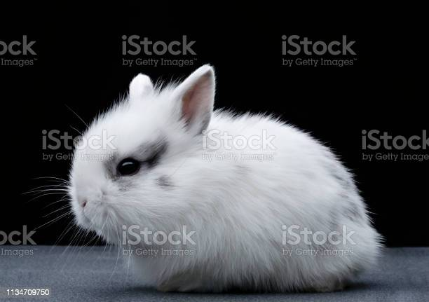 Adorable white rabbit with small ears picture id1134709750?b=1&k=6&m=1134709750&s=612x612&h=2t1p4ahc2tbvkoxmphdthp1mp4zksvax34iprl pyok=