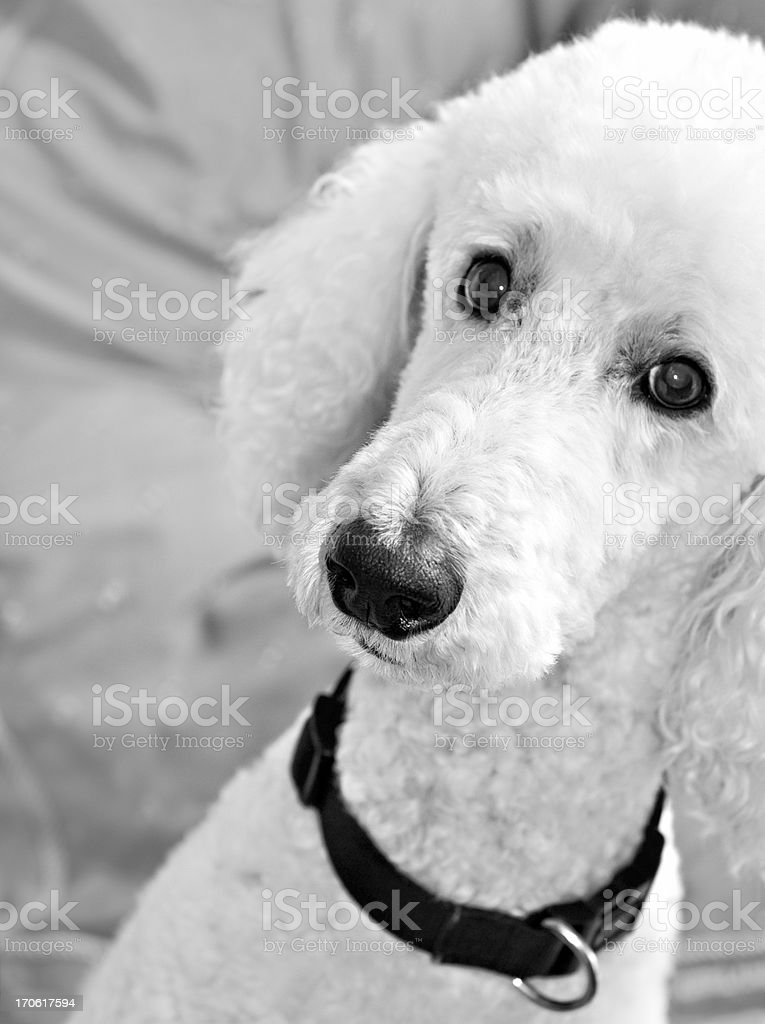 Adorable White Standard Poodle royalty-free stock photo