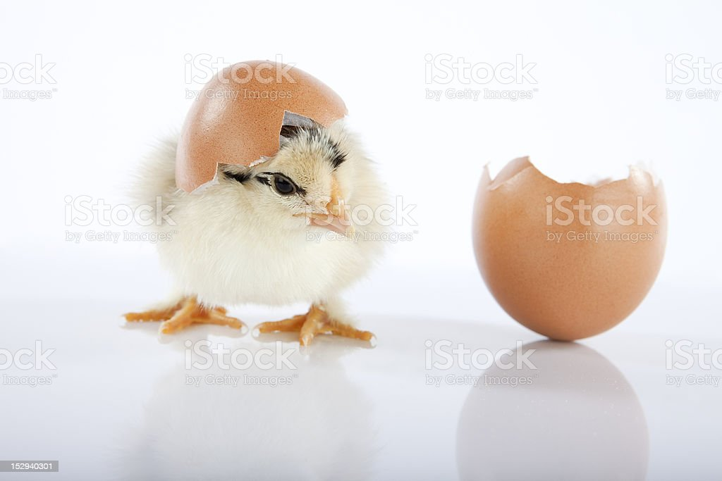 Adorable yellow baby chicken got out of an egg royalty-free stock photo