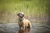 adorable yellow Dog Labrador stands in a water in summer