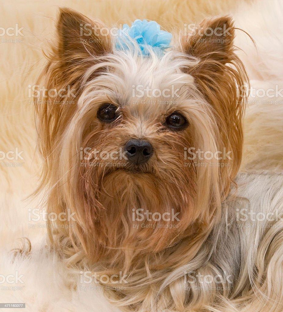 Adorable Yorkie Face stock photo