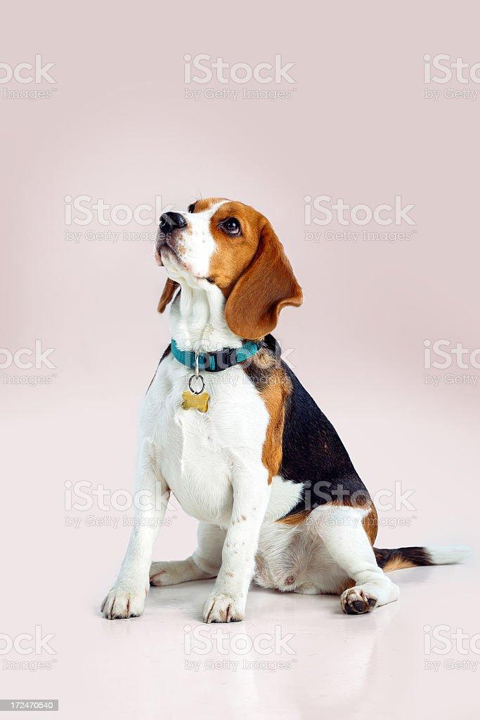 Adorable Young Beagle royalty-free stock photo