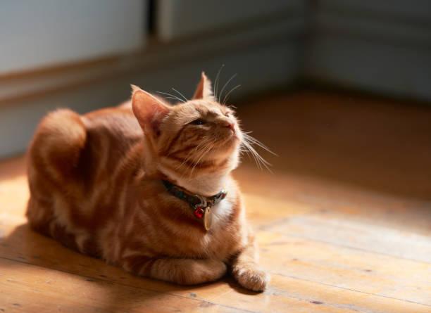 Adorable young ginger red tabby cat back lit laying on a wooden floor picture id1129731816?b=1&k=6&m=1129731816&s=612x612&w=0&h=usqj2u153pl8mxvnk03gkeke5bypa7h9dx8jhio4bfg=