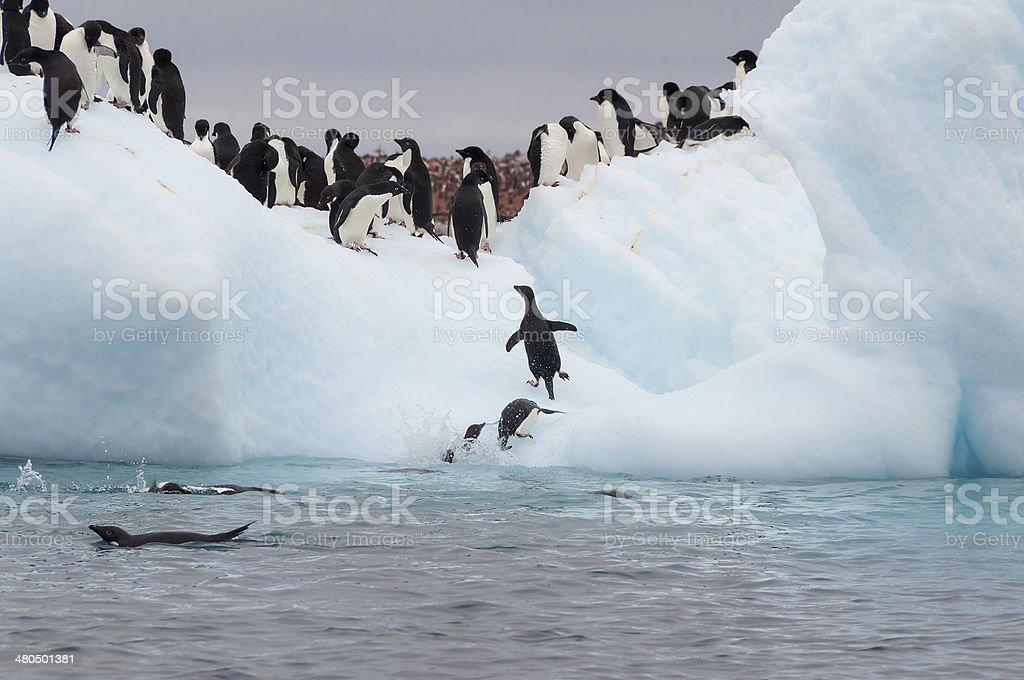 Adult adele penguins grouped on iceberg stock photo