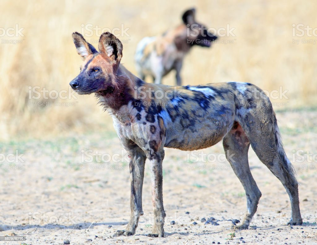 Adult African dog standing with another in the background in South Luangwa National Park, Zambia stock photo