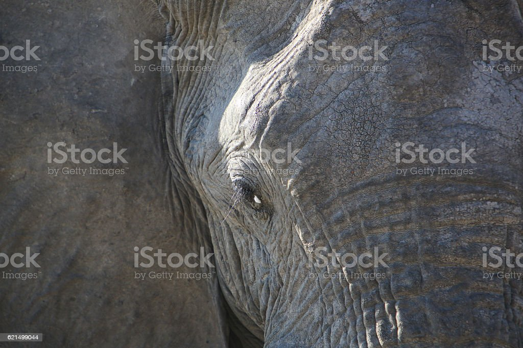 Adult African Elephant in Savuti, Chobe National Park, Botswana foto stock royalty-free