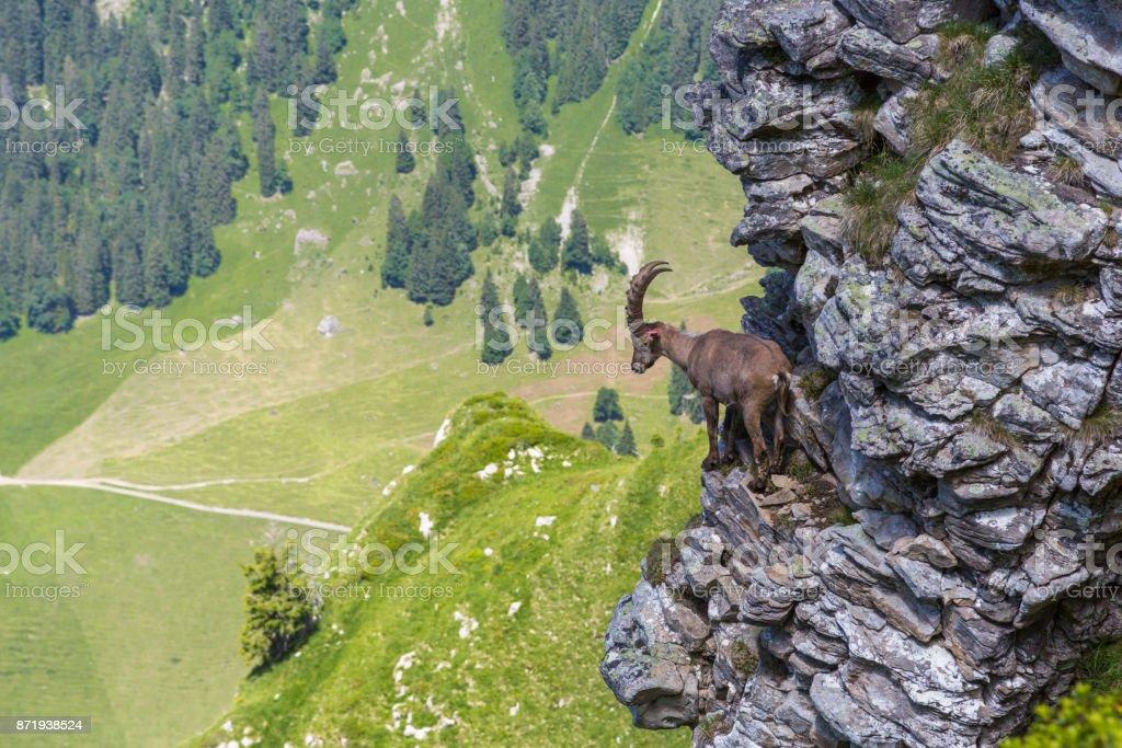 Erwachsene Alpin Capra Ibex Steinbock stehen auf Felsen mit Blick ins Tal – Foto