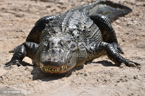 An American alligator shows its teeth while it basks in the sun in Florida.