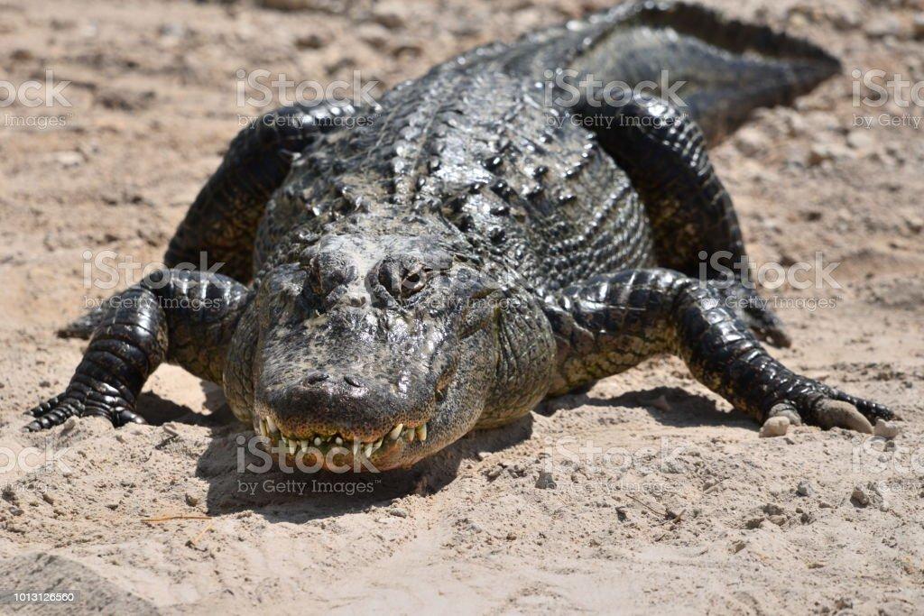 Adult American Alligator stock photo