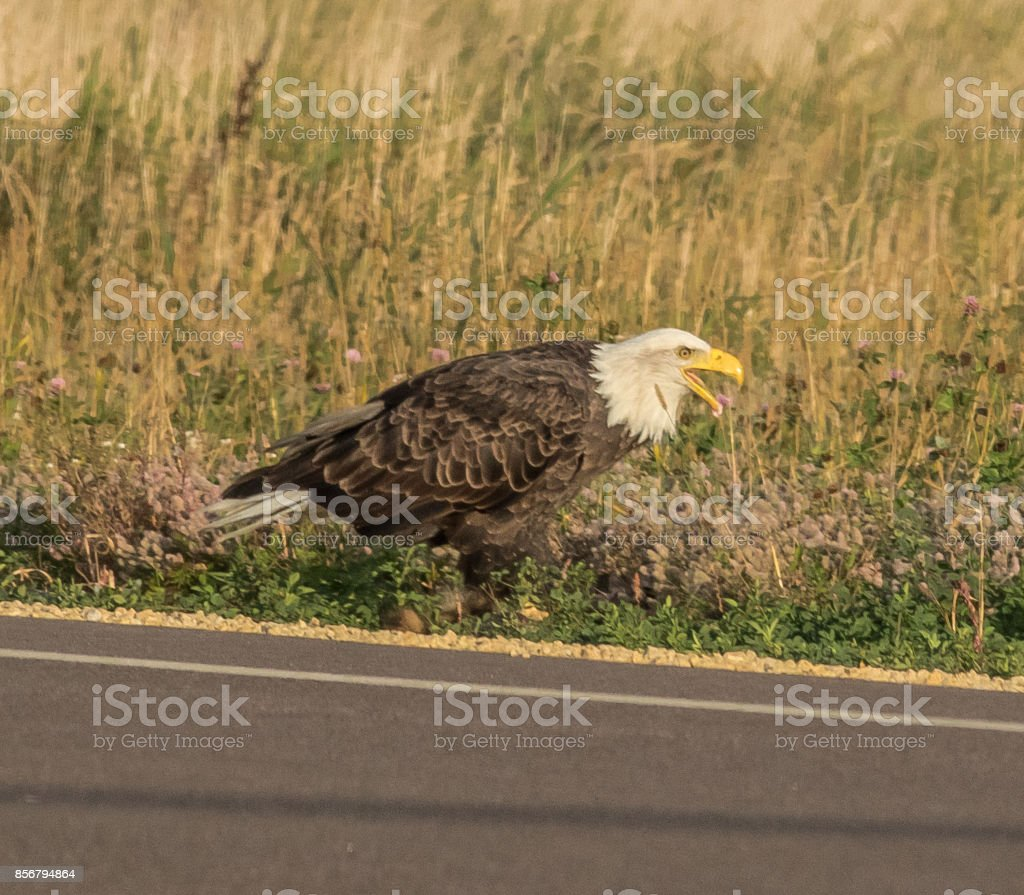 Adult American Bald Eagle giving a warning scream stock photo