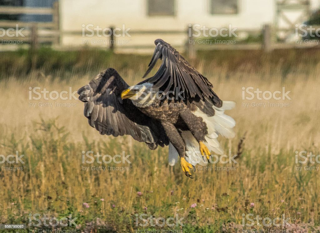 Adult American Bald Eagle stock photo