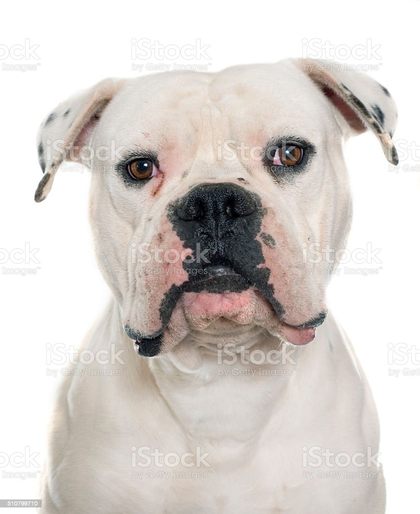 adult american bulldog stock photo