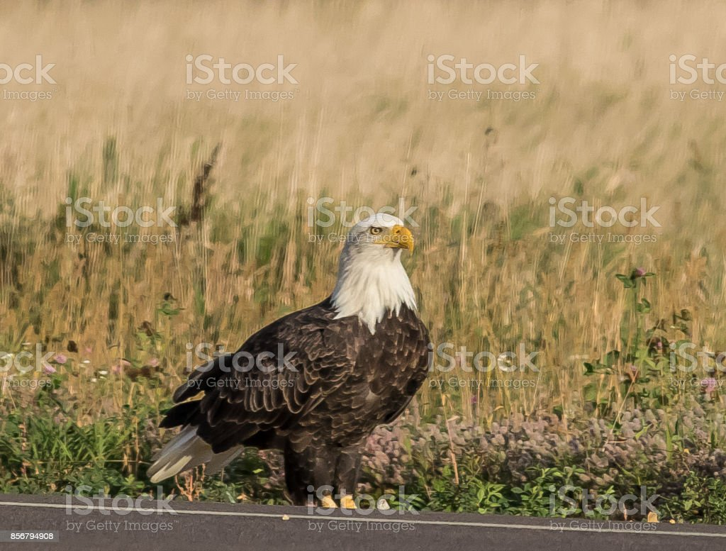 Adult American Eagle standing tall. stock photo