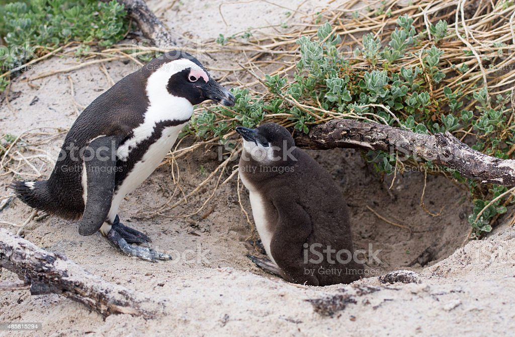 Adult and baby African penguin stock photo