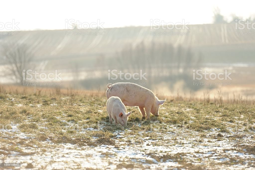 Adult and baby free range organic pig in snow stock photo