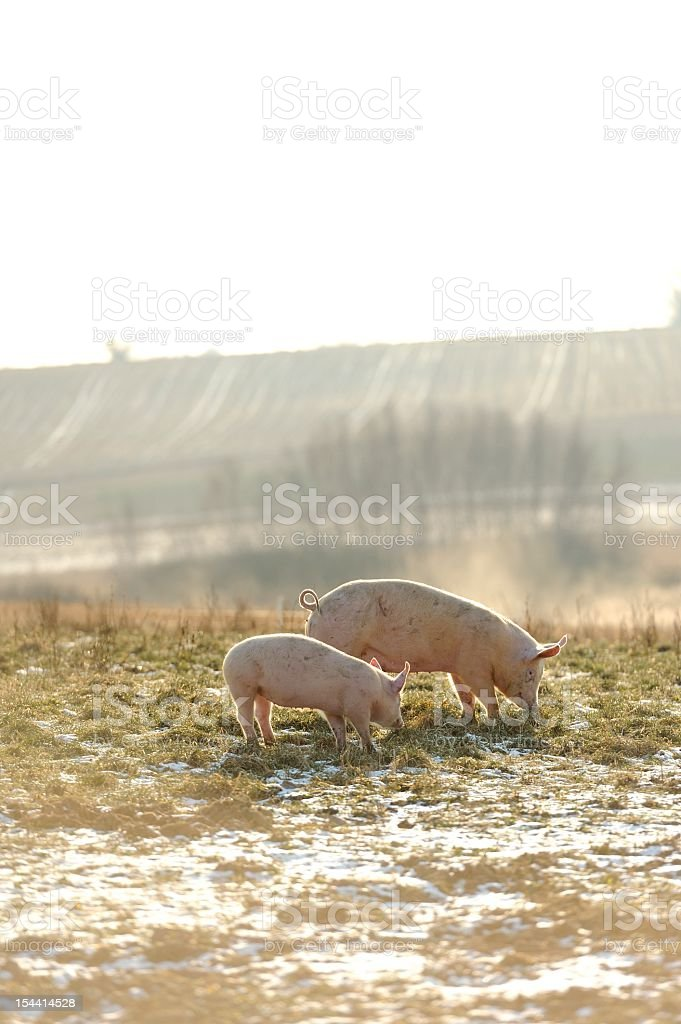 Adult and baby free range organic pigs in snow. stock photo