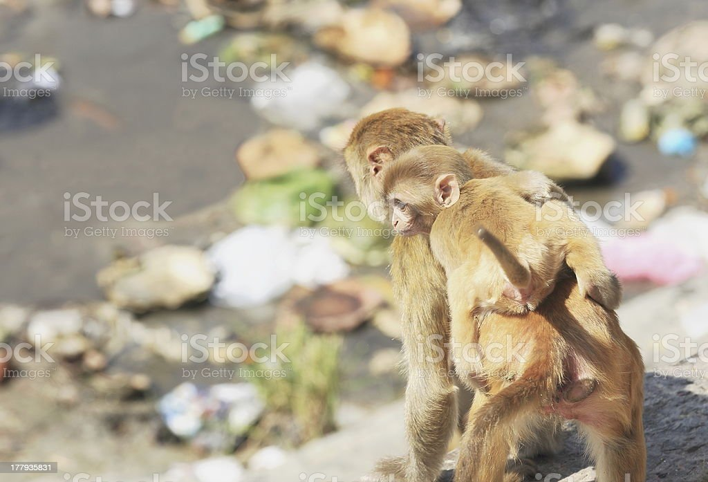 Adult and baby monkeys looking for food-Pashupatinath temple-Deopatan-Kathmand-Nepal. 0284 stock photo