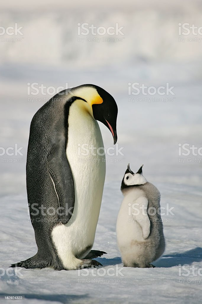 Adult and baby penguin in the snow Emperor penguin chick begging parent for food. Antarctica. Animal Stock Photo