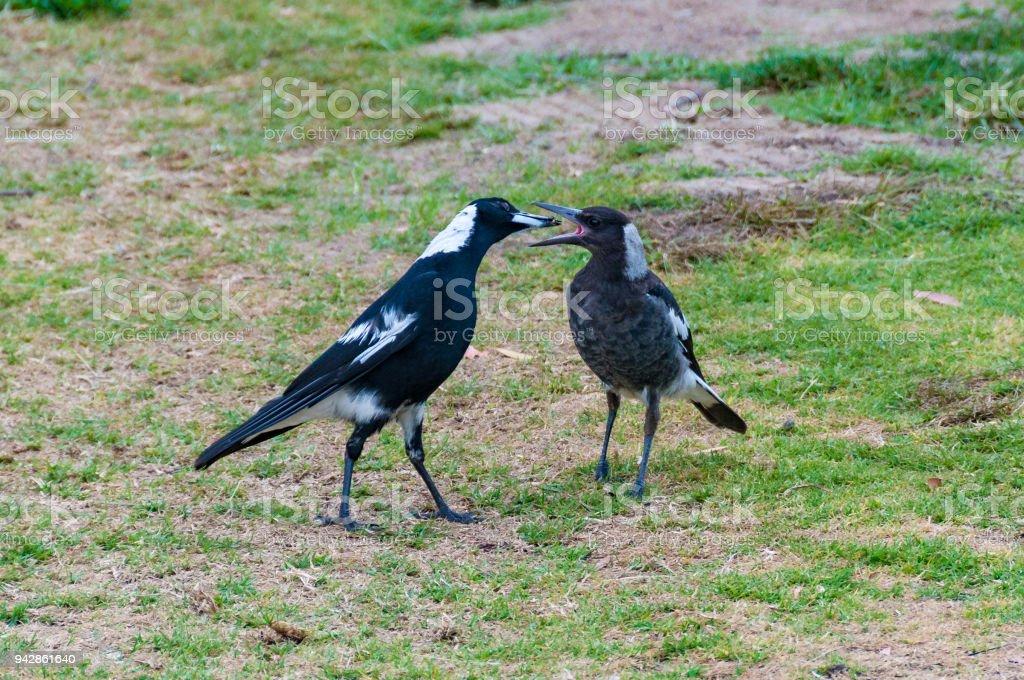 Adult and juvenile Australian Magpie birds stock photo