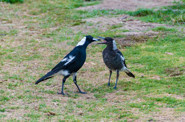 Adult and juvenile Australian Magpie birds stock photo