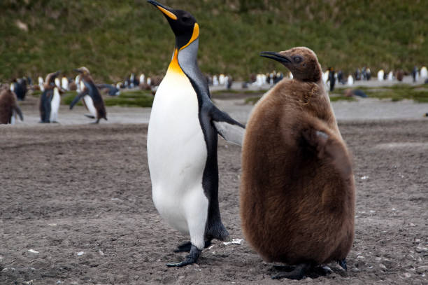 Adult and juvenile king penguin with colony in background stock photo