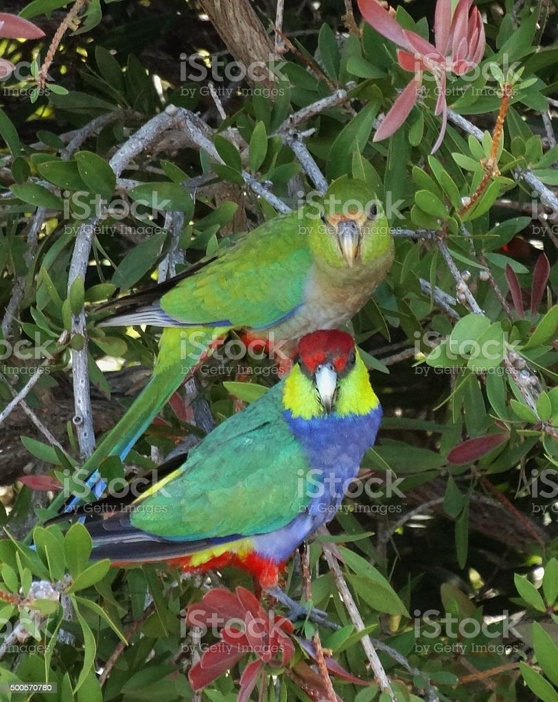 Adult and Juvenile Parrot stock photo