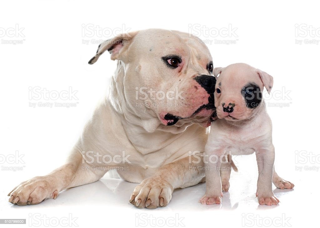 adult and puppy american bulldog stock photo