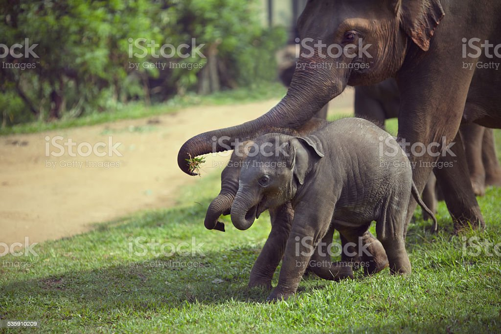 Adult and two baby elephant stock photo