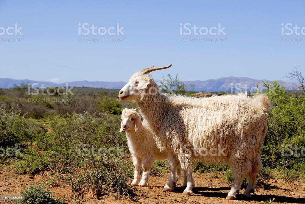 Adult Angora goat with lamb stock photo